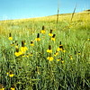 Yellow Cone Flower, August 1953, Theodore Roosevelt NMP, ND