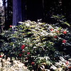 Red Elderberry, Mount Rainier NP, WA, September 1953