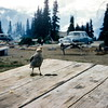 Clark's nutcracker, Mount Rainier NP, WA, September 1953