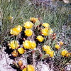 Prickly pear, July 1953, Theodore Roosevelt NMP, ND
