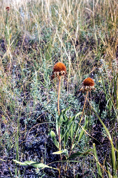 Cone flowers, Theodore Roosevelt NMP, ND, August 1953
