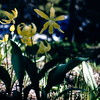 Dogtooth violet and glacier lily, Glacier NP, MT, July 1954