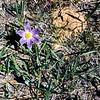Pasque flower, Glacier NP, MT, July 1954