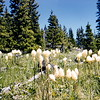 Bear Grass, Glacier NP, MT, July 1954