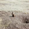 Prairie Dog, Devils Tower NM, WY - 1959
