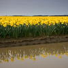 Daffodil Reflection