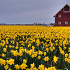 Daffodils and Red Barn