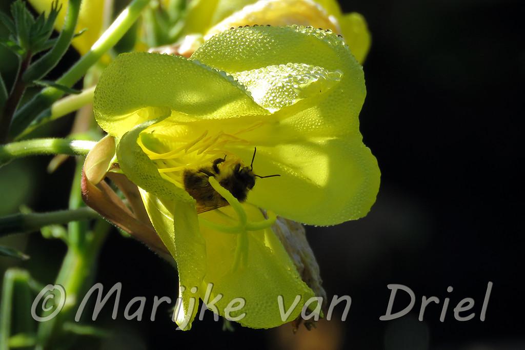 Bij in gele bloem