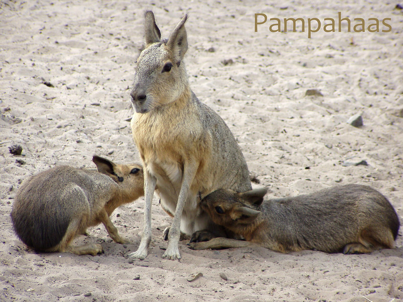 Pampahaas
