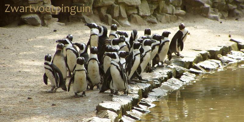 Zwartvoetpinguin
