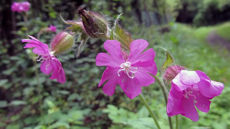 Dagoekoeksbloem