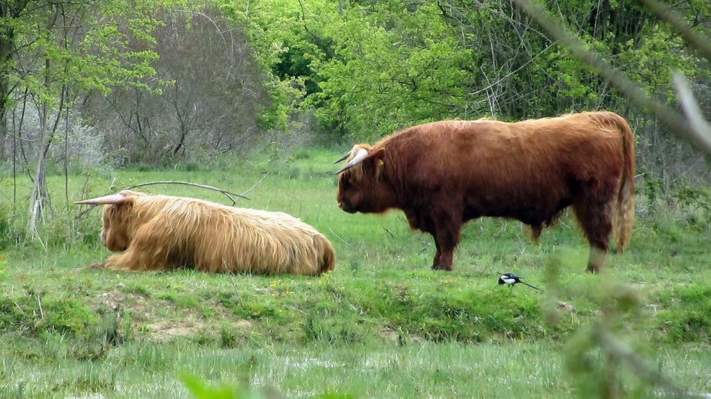Schotse Hooglandrunderen