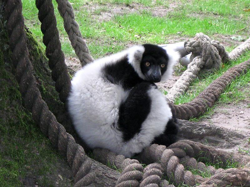 Zwartwitte of bonte Maki (Vari, Lemuur)