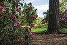 Precocious rhododendrons on Laurel Ridge
