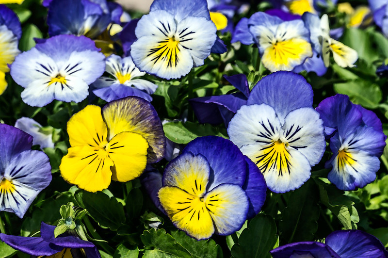 Potted pansies raising their funny little faces to the sun.