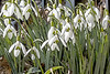 Snowdrops in bloom