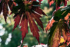 Red and green from a Japanese maple