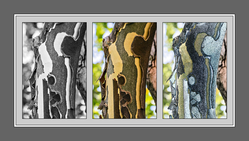 Sycamore bark silliness<br /> <br /> DP204-2013  Posted July 23; created ditto<br /> <br /> I was just trying to come up with something a little different for today.  Once I decided to work with a recent (July 21) shot of sycamore bark, I just played around with processing it, and thought it might be fun to offer the three views as a set.  The right-hand side is a filtered version with conte crayon applied to the background, and 'Find Edges' and 'Smudge Stick' applied to the bark, all with varying degrees of opacity.<br /> <br /> Big thanks to all who viewed and commented on yesterday's shot of teasel.  Echoing Judy's (fotoeffects) remarks of a couple of days ago about her Palouse barn photo, I never know which of my offerings is going to strike a chord in people.  I'm just happy when it happens.