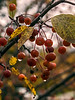 Wet crab apples