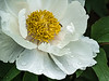 Attractive to Insects and People Alike - White #1 tree peony (Bz)