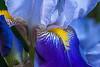 Full of Fascination - Iris Detail