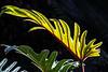 Philodendron Phantasy