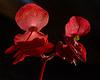 A study in scarlet #1 - Begonias, back lit