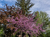 Redbud tree in the landscape