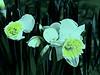 Daffodils in faux moonlight