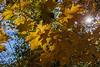 Autumn sunscreen - maple leaves