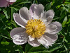 Pallas peony, Paeonia lactiflora