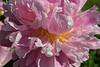 Exquisite, an heirloom herbaceous peony