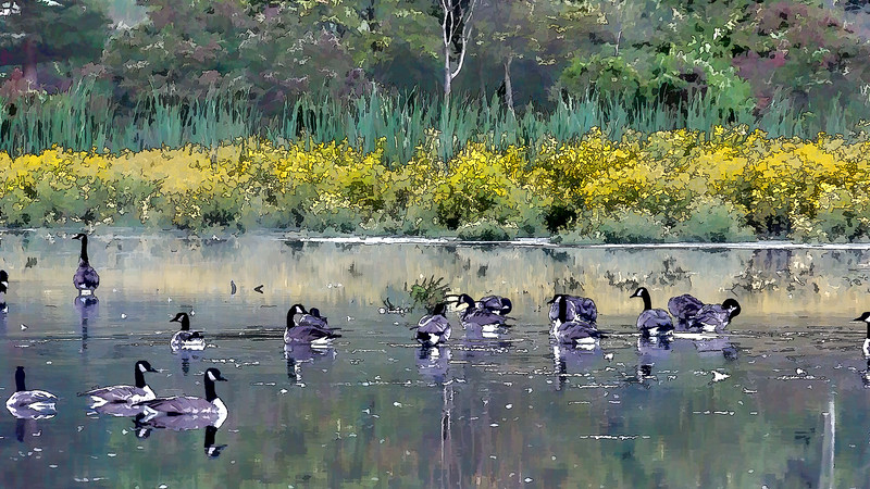 Featured:  Impressions of Canada geese at the Willow Pond