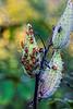 Featured:  Large Milkweed Bugs, Oncopeltus fasciatus