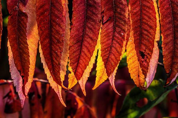 Sumac foliage in fall