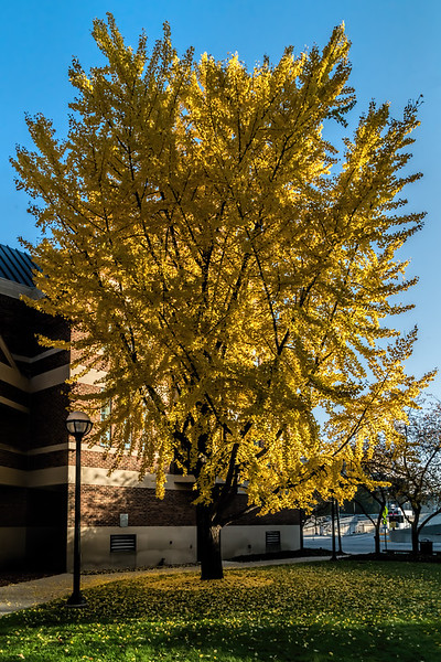 Featured:  Glowing ginkgo