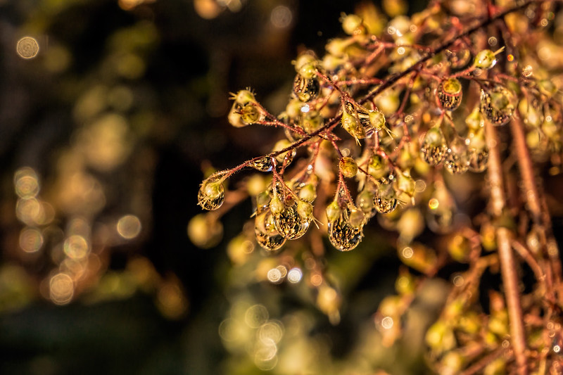 Featured:  Water droplets on seed heads