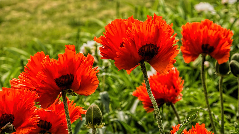 Featured:  Lolly-poppies