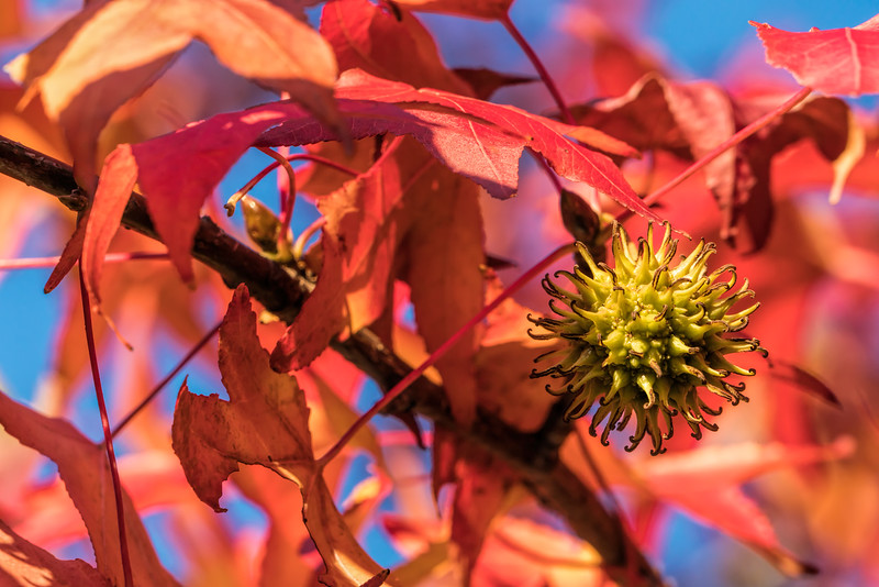 Featured:  Sweetgum foliage and balls, with colors like strawberry rhubarb pie