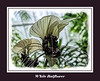Featured:  White Batflower
