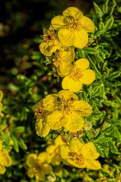 Featured:  Potentilla blooms with bonus bug