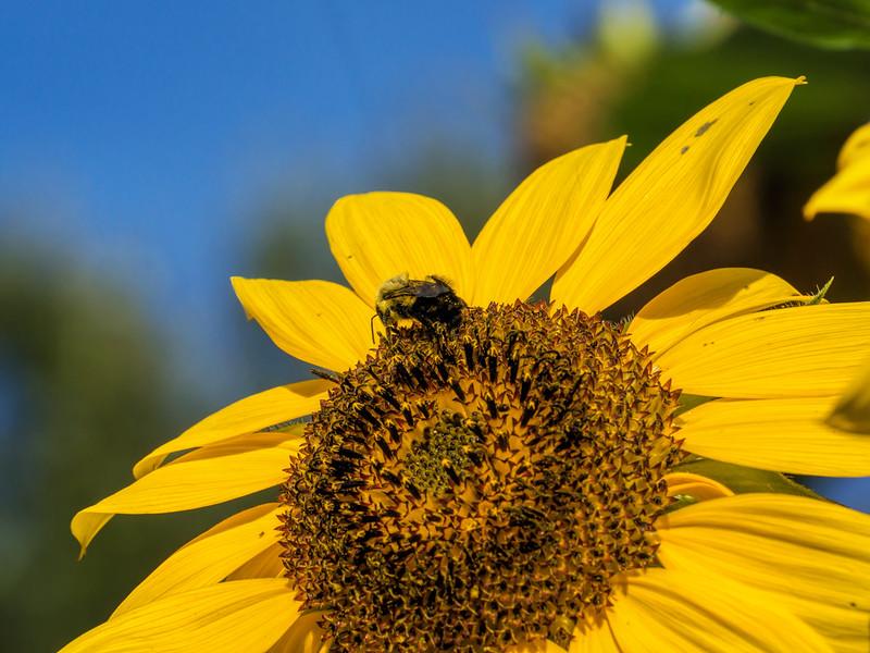 Featured:  Bee on sunflower