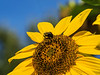 Featured:  Bee on sunflower
