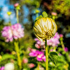 Featured:  Dahlia bud with beetle - square crop