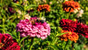 Featured:  Zinnia being pollinated late in the year