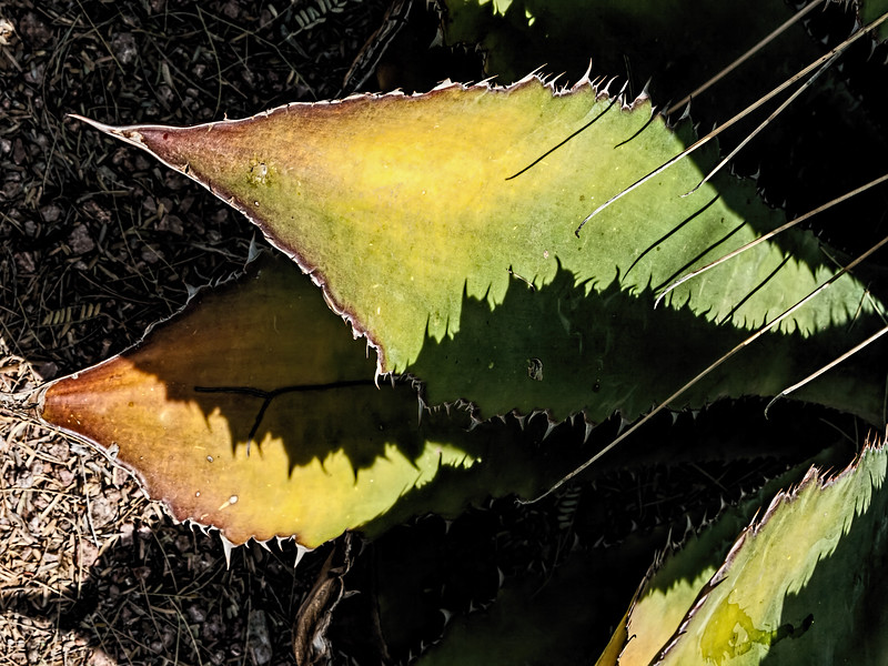 Featured:  Shadows of agave, on agave