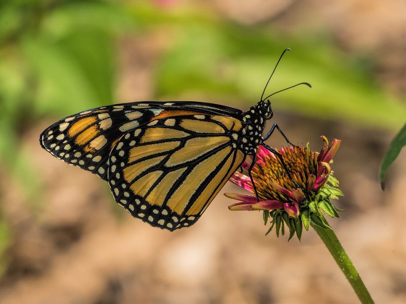 Featured:  Male (?) Monarch Butterfly on Coneflower