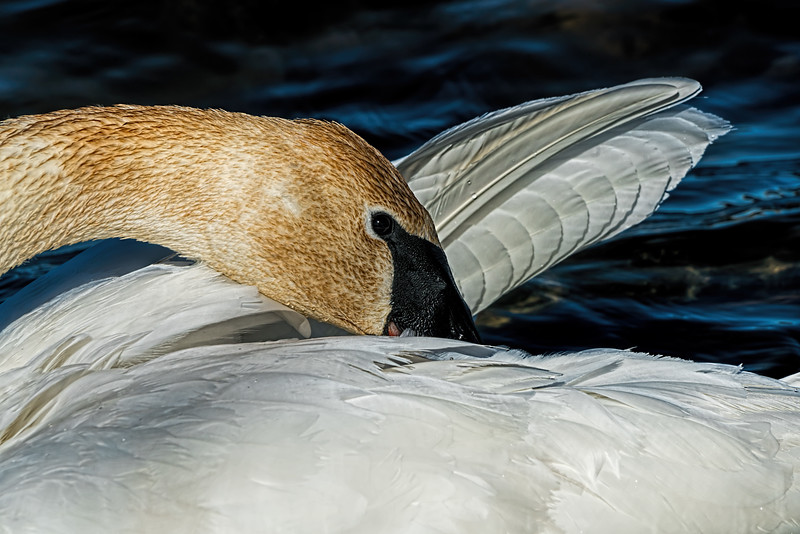 Featured:  Trumpeter swan grooming between gobbles