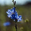 Chicory - As Blue as the Summer Sky