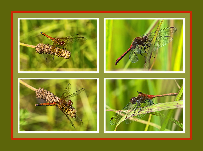Red Dragonfly Comparison